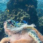 مرگ سالانه 40% از لاک پشت هاتوسط ضایعات ضایعات پلاستیک رها شده در اقیانوس ها